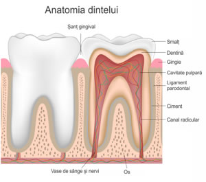 Anatomia dintelui